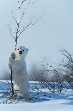 """A polar bear cub plays with a birch tree in the snow in Canada"" Picture: ©Klein & Hubert/ Biosphoto / SteveBloom"