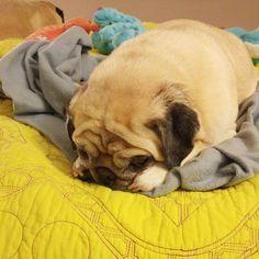 Pug loafing so hard. #pugloaf #sunnyrosy