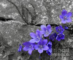 Bluebells by Felikss Veilands