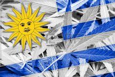marijuana: Uruguay Flag on cannabis background. Drug policy. Legalization of marijuana