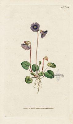 Soldanella alpina. Alpine Soldanella. from William Curtis Botanical Magazine 1st Edition Prints Vol 1-6 1787