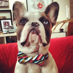 it's a joel Brown Frenchie!