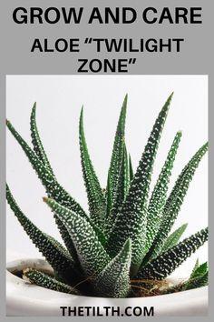 """Aloe """"Twilight Zone"""""""