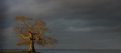 600 year old ash tree,  known locally as the Cabin Tree,  at Doss on the shore of Lough Neagh,  Northern Ireland.