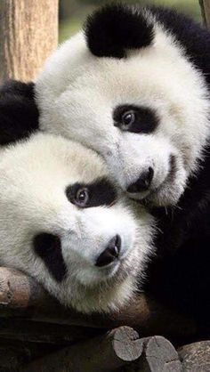 Best Animal Cuddlers Of All Time Panda bears are so cuuuute.Panda bears are so cuuuute. Niedlicher Panda, Panda Bebe, Cute Panda, Panda Art, Panda China, Cute Baby Animals, Animals And Pets, Funny Animals, Photo Panda
