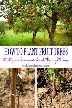 to Plant Bare Root Fruit Trees How to Plant Fruit Trees. Come join me for a step-by-step picture tutorial as I plant my new peach tree. When to plant fruit trees, where to plant fruit trees, and how to plant fruit trees.How to Plant Fruit Trees. Come join Fruit Tree Garden, Planting Fruit Trees, Growing Fruit Trees, Fruit Plants, Garden Trees, Growing Plants, Trees To Plant, Gardening For Beginners, Gardening Tips