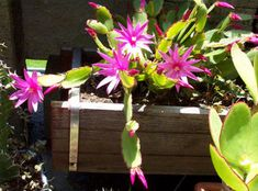 Christmas Cactus Blooms Wilt – Why Christmas Cactus Flowers Are ...