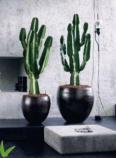 Euphorbia Ingens ~ candelabra tree, cowboy cactus, good luck cactus