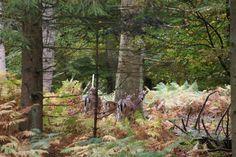 Dådyr slotved skov