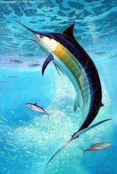 Blue Marlin (Makaira nigricans) / Artist: Ian Coleman