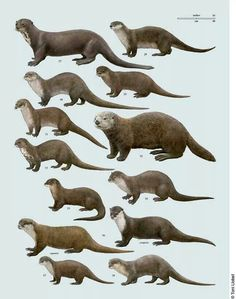 Various otters. various otters. This is our new band name! Animals Of The World, Animals And Pets, Cute Animals, Otter Love, Especie Animal, Baby Otters, River Otter, My Spirit Animal, Pet Birds