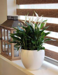 Prachtige Lepelplant, ook voor in de vensterbank! (Maar pas op met zonlicht)