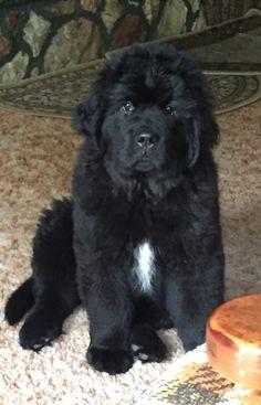 Meet Tsunami, my little Newfie pup!