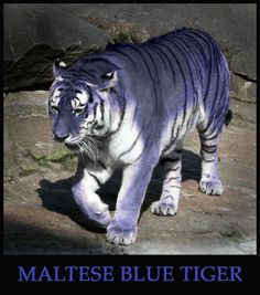 Maltese Blue Tiger by ~Sphynxette on deviantART - seems to be that the South Chinese Tiger or Amur Tiger subspecies from Korea has evolved from a slate gray into a blue-grey. Amazing!