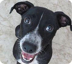 St Petersburg, FL - German Shorthaired Pointer/Foxhound Mix. Meet Tillie!, a dog for adoption. http://www.adoptapet.com/pet/11210633-st-petersburg-florida-german-shorthaired-pointer-mix