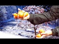 Ty Ty Nursery has a cold hardy persimmon tree that will survive temperatures of 0 degrees Fahrenheit. And Ty Ty Guarantees these trees will live and grow in your garden. www.tytyga.com
