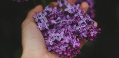 Wondering how to use hydrosols? We offer suggestions on how to use some of the most popular and beginner-friendly hydrosols. Hand Flowers, Purple Flowers, Purple Lilac, Dark Purple, Lavender Flowers, Best Essential Oils, Essential Oil Blends, Instagram Photoshop, Syringa Vulgaris