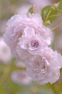 Rose  New Wave  , (-) , bred by Kikuo Teranishi (Japan, 2000)