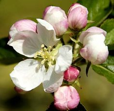 Apple blossom and buds - Arkansas designated the apple blossom as the official state flower in 1901. Arkansas was once a major apple producing state and still has an Arkansas apple festival each year in the town of Lincoln (in Washington county).