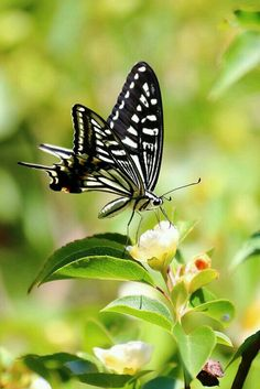 mariposa de
