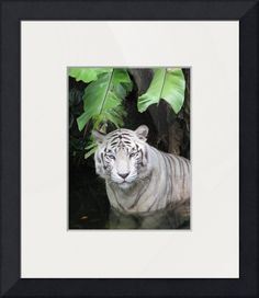 """""""White Tiger Potrait"""" by 17 Victory & Co, Singapore // This is potrait of a rare species of tiger - the white tiger. As seen half in the water.Tiger is often regarded as the symbol of power and strength, as its the king of the jungle.Well suited for working executive and manager for its symbol of Strength and Power. Especially i... // Imagekind.com -- Buy stunning fine art prints, framed prints and canvas prints directly from independent working artists and photographers."""