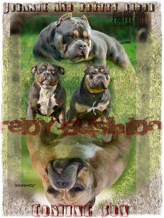 Fantastic American Bully (pocket) breeding pair, know their babies at Wuuff. American Bully Pocket, Pocket Bully, Puppies For Sale, Dogs And Puppies, Bulldog Mascot, Bully Dog, Babies, Babys, Newborns
