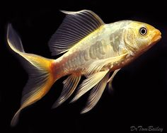 koi  | Pictures: a Platinum Butterfly Koi swimming in one of our aquariums ...