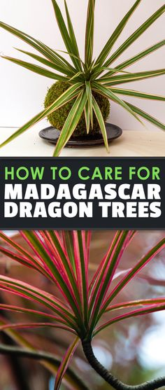 How to grow and care for madagascar dragon tree (dracaena marginata). One of the hardiest houseplants with red spiky leaves for a pop of color.