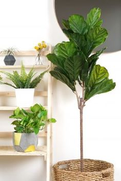 Fiddle-leaf fig plants are indoor AND outdoor plants, so if yours is growing at a rapid rate, it may want to move outside. Tiny Living Rooms, Living Room Photos, Rugs In Living Room, Living Room Chairs, Living Room Designs, Living Room Decor, Room Rugs, Cheap Dorm Decor, Decoration Plante