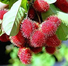 http://tropical-fruits.biz/img/rambutan2.jpg