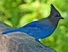 Stellar Blue Jays are very much at home in Yosemite National Park. Watch your food, or they'll steal it away from you. A beautiful, yet aggressive bird.
