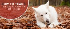 Do you have a naughty chewer? Teach them to chew on the right things! https://www.sitstay.com/blogs/good-dog-blog/how-to-teach-your-dog-to-chew-the-right-things?utm_campaign=coschedule&utm_source=pinterest&utm_medium=SitStay%20Dogs