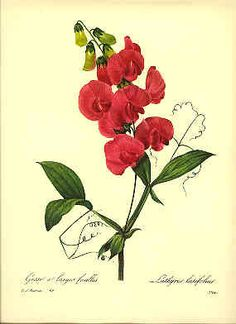 Redoute Botanical Print, Sweet Pea  Several other beautiful pieces. Maybe to replace the ones in my bathroom?