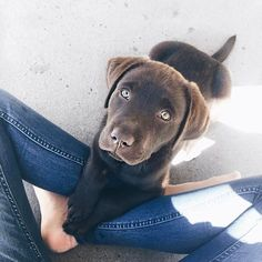 Chocolate lab. Pinterest: pearlxoxoxo
