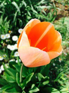#nature#garden#tulip#love#<3#:)#Hungary#orange#green#white#daisies