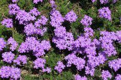Verbenen Violett auf dem Balkon sommer 2016 halbschatten