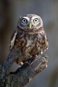 Little Owl / Mochuelo (Athene noctua)