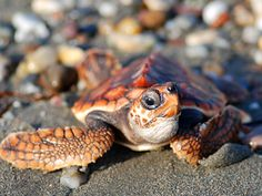 Turtles can feel the magnetic field from earth and they use it to stablish geographic maps which let them migrate between the beaches.