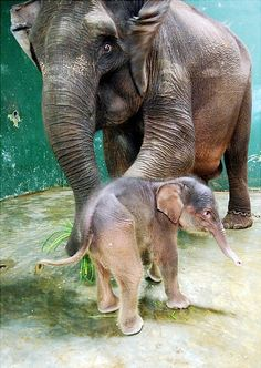 A 9-day-old baby elephant sticks close to his 18-year-old mother Tini at the Safari Park in Gianyar, on the Indonesian resort island of Bali. The male Sumatran elephant baby is the first baby elephant born on Bali island.