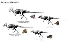 posible ontogenia de paquicefalosaurio.