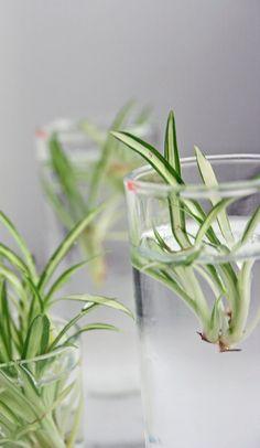 via malo blogg: spider plants