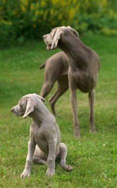 (William Wegman-20120716-0296) 2012, Flo and new pup, Topper