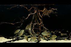 Rio Essequibo Biotope, Guyana centered around Satanoperca leucosticta, with Hyphessobrycon rosaceus. Aquarium Terrarium, Big Aquarium, Tropical Fish Aquarium, Glass Aquarium, Aquarium Filter, Aquarium Design, Aquarium Fish Tank, Planted Aquarium, Biotope Aquarium