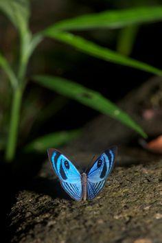 Stunning Winged Beauty! Semomesia Capanea | Flickr - Photo Sharing!