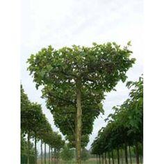 Platanus acerifolia Malburg 'Dachform' 240x240 cm (Stamm 330 cm) / - Baumschule NewGarden