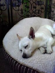 Jack is an adoptable Chihuahua Dog in Santa Ana, CA. Required of all adopters is the completion of an Adoption Application. Please upload an application from our website, WWW.POOCHMATCH.COM and click ...
