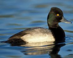 Lesser Scaup The lesser scaup is a small North American diving duck that migrates south as far as Central America in winter. It is colloquially known as the little bluebill or broadbill because of its distinctive blue bill.