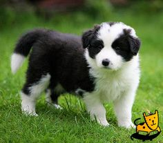 Beautiful Border Collie~~  DailyPets.co.uk