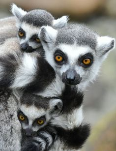 Madagascar is the only place where lemurs live in the wild, having evolved separately from their cousins, the African ape, over millions of years