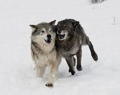 wolf snow run,, Beautiful Wolves, Beautiful Dogs, Animals Beautiful, Wolf Pictures, Animal Pictures, Wolf Love, Wild Wolf, Wild Creatures, Lone Wolf